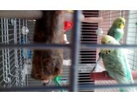 Beautiful budgies with large cage and accessories