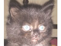 Gorgeous black fluffy kittens