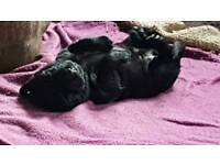2 adorable female puppies left