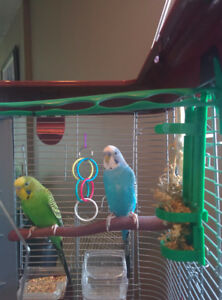 3 Budgies Blue Green White