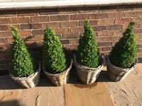 4 Topiary cone shaped box in planter