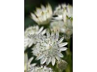 astrantia major cottage garden plant
