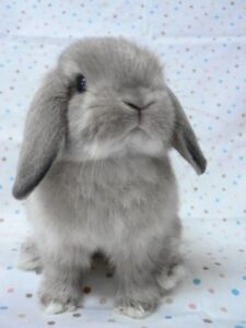 LOOKING FOR HOLLAND LOP