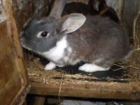 GREY AND WHITE MALE RABBIT,Less than 12 months old