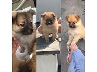Stunning Litter Of Pure Pomeranian Puppies