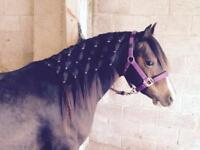 13.2hh Welsh Mare