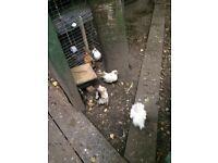 Serama chickens small hens