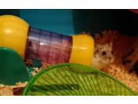 Russian hamster with large savic hamster heaven cage