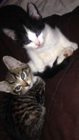 Two 8 week old beautiful female kittens