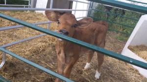 Angus / Holstein  cross heifer calf