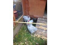 Lavinder pekin rooster chicks
