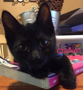 "Baby Male Cat - Domestic Short Hair (Black): ""Chicken"""