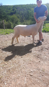 Polled Dorset Yearling Ram