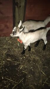 4 baby goats for sale!