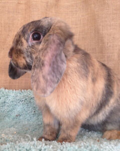 Beautiful Harlequin HOLLAND LOP BUNNY!