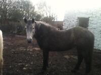 13.8Connemara ponies