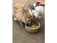 2 female rabbits and hutch for sale