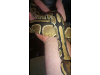 nice ball python with full stup for sale