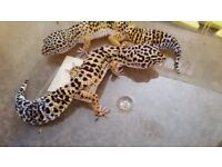 2 Leopard Geckos with vivarium