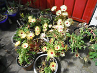 Plants for sale-Mesembryanthemum Lunette/Livingstone Daisy plants