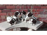 beautiful English springer spaniel puppies.