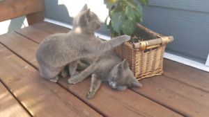 2 adorable grey kittens for sale!!!