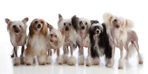 *Wanted* Chinese Crested