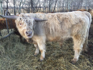 Grass fed Highland beef for sale
