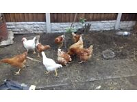 3 egg laying chickens and 9 beautiful chickens 3 months old to sell