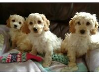 Lovely cockapoo puppies
