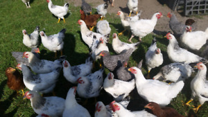 Free range chickens Meat birds and duo purpose