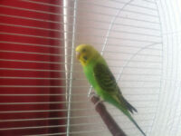 Young Male Budgie