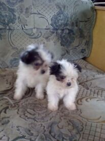 Maltese x chiuhaua girl pups for sale