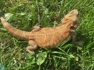 Looking for a male bearded dragon