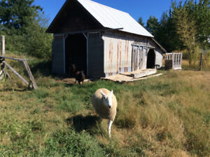 White ram & black ewe for sale