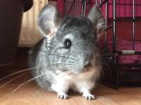 Chinchilla seeks friend