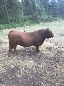 2 year old red angus bull
