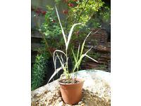 Koeleria (variegated grass)