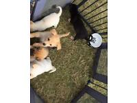 Shar pei x Husky pups READY NOW