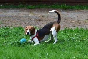 """Young Male Dog - Beagle: """"Cooper"""""""