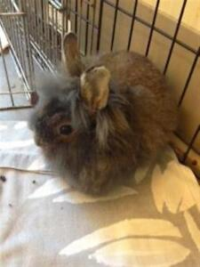 "Baby Male Rabbit - Lionhead: ""Brussel Sprout"""