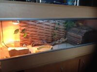 Bearded Dragon plus set up for sale