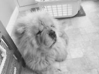 Chow chow 4 yrs old female