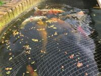 Koi pond and fish for sale