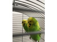 Cute and Beautiful Budgie for Sale