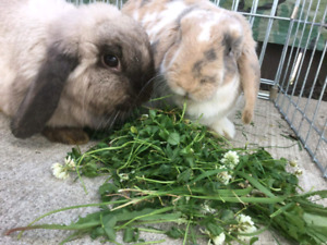 2 Rabbits with cages and supplies