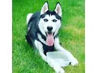 due to work commitments im having to sell my husky she is 8 months old and very friendly