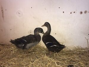 Ducks for sale!!