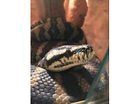 Carpet Python female