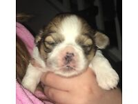 Shih tzu MALE puppies for sale